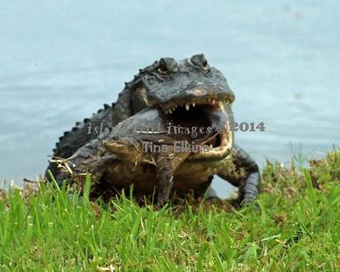Gator 9