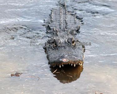 Gator 5