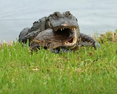Gator 11