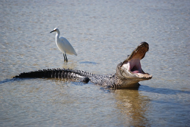 Gator and Egret