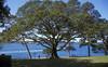 The Moreton Bay Fig