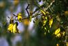 Closeup of Kowhai blossoms.
