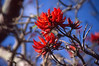 Coral Tree blossom