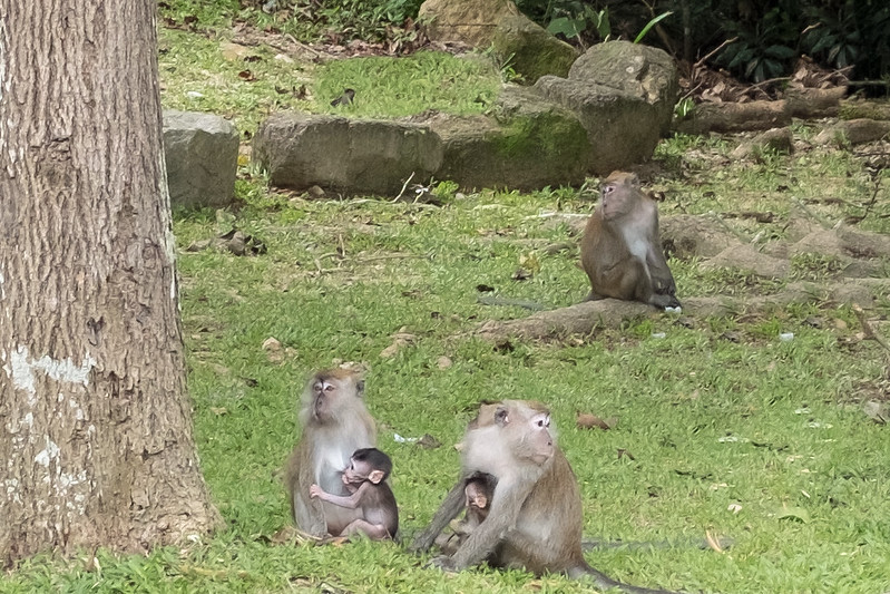 Local Macac monkeys with their babies