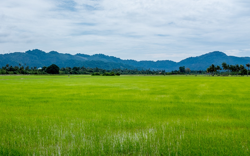 Rice paddies near Balik Palau