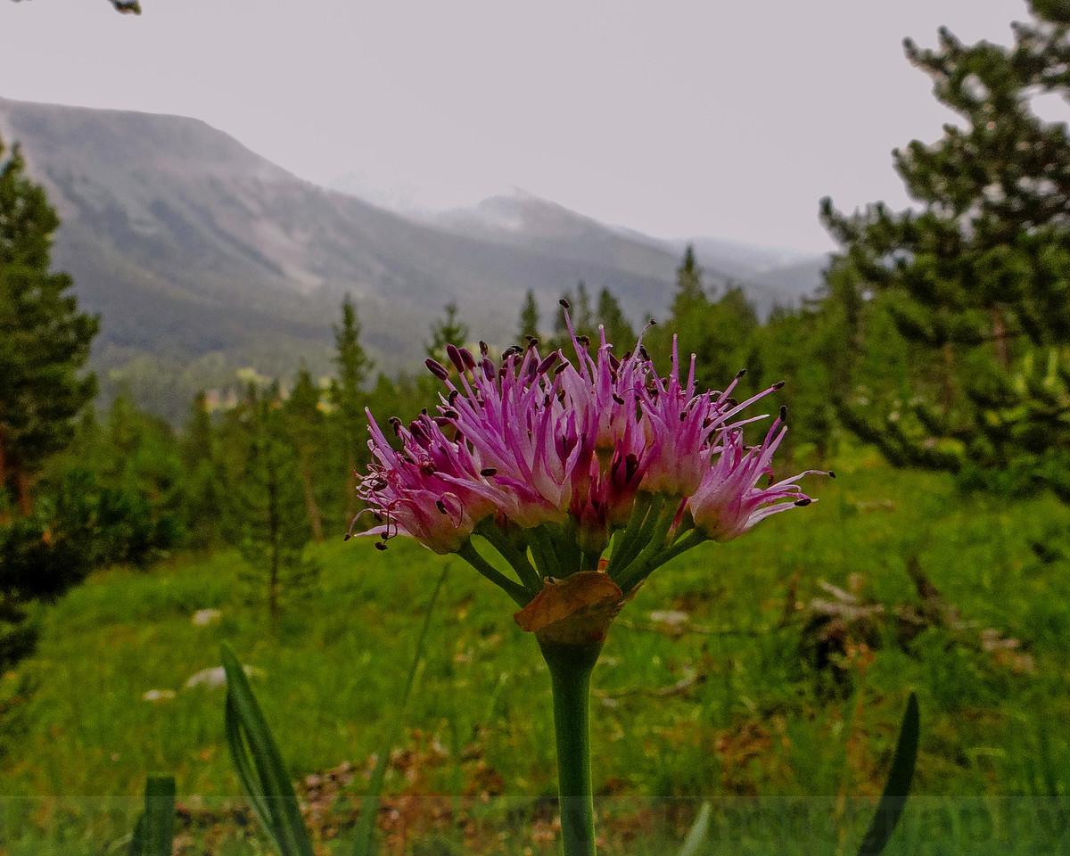 Pacific Mountain Onion