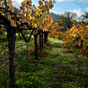 Just more grape vines....they grow everywhere like weeds.