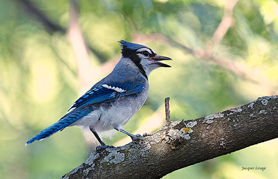Geai Bleu - août 2012 dans mon jardin.