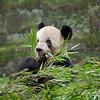 Pandas at zoo