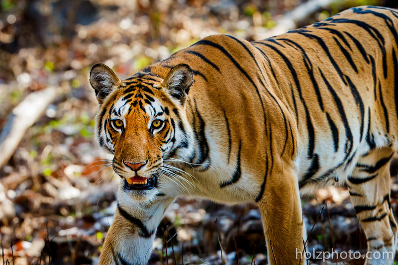 Tiger in Pench National Park, India.  Canon 1D X + Canon 200-400mm f/4 IS