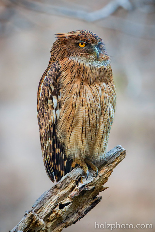 Brown Fish Owl taken in Ranthombore National Park, India.  Canon 5D III + Canon 600mm F/4 IS II + Canon 2x III