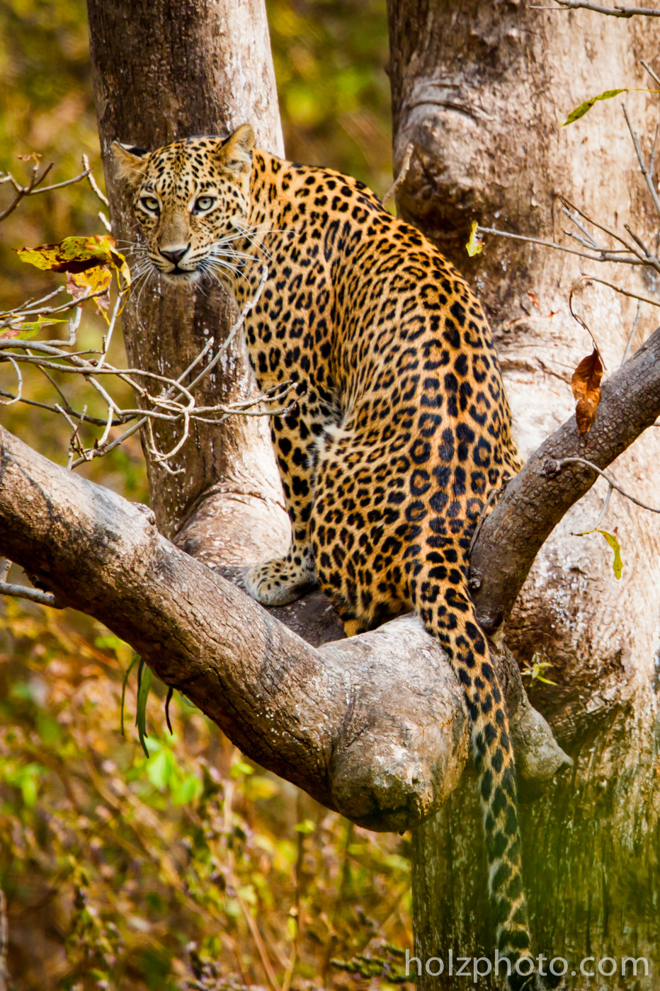 Indian Leopard in Khana National Park, India.  Taken with the Canon 5d III + 600mm f/4 IS II + 2x iii.