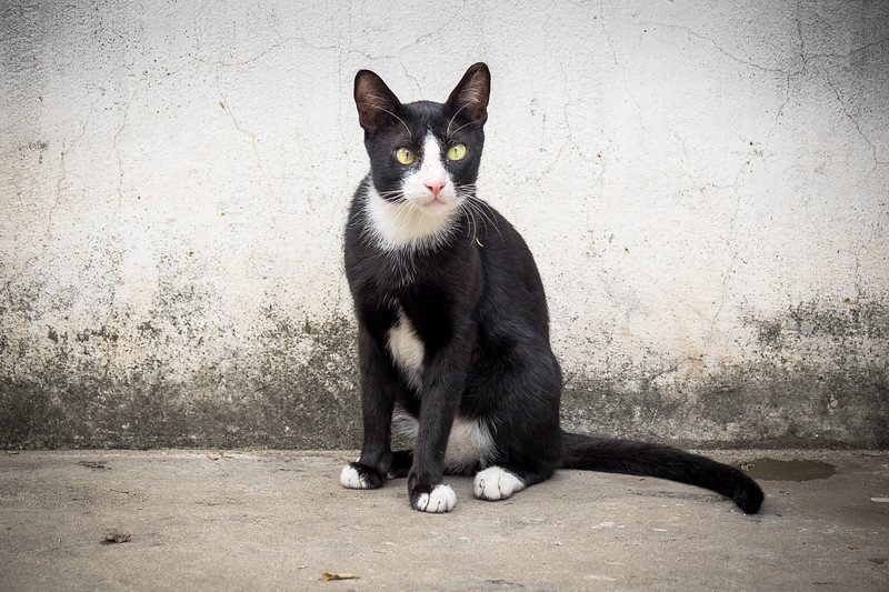 Vietnamese cat