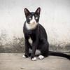 Vietnamese cat