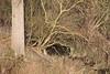 Sporen van bever(s) in de polder tussen Steendorp en Temse (26/01/2020)