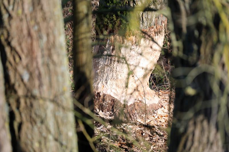 Sporen van bever(s) in de polder tussen Steendorp en Temse (16/01/2020)