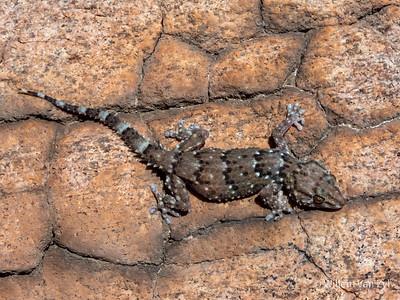 20201215 Bibron's Thick-toed Gecko (Chrondrodactylus bibronii) from Springbok, Northern Cape