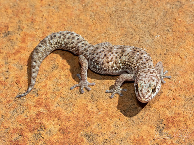 20211006 Cape Thick-toed Gecko (Pachydactylus capensis) from Kimberley, Northern Cape