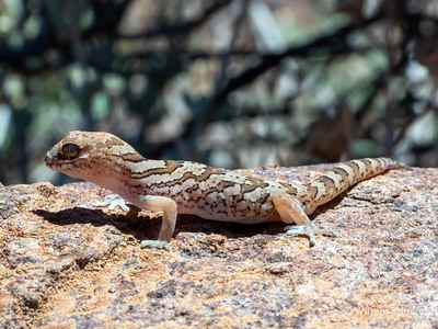 20210212 Common Banded Gecko (Pachydactylus mariquensis) from Calvinia, Northern Cape