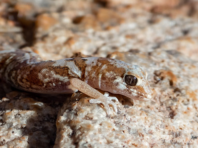 20201215 Quartz Gecko (Pachydactylus latirostris) from Springbok, Northern Cape