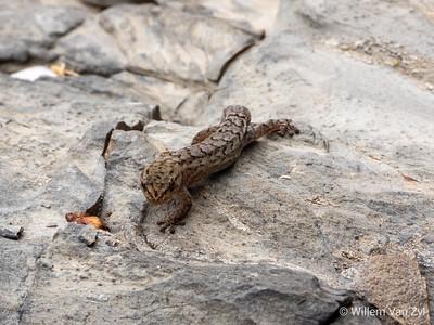 Striped Pygmy Gecko (Goggia incognita)