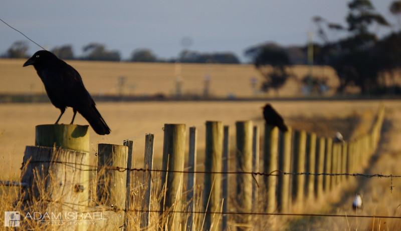 Fence Murder -- Lovely Banks, Geelong