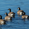 geese  11168
