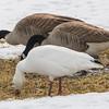 snow goose       1811a