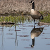 geese            911