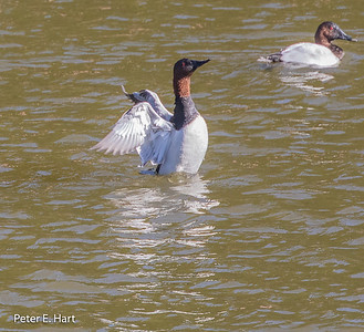 Canvasback adult male