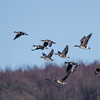 Greater White-fronted Goose - Blisgås