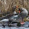 Greylag Goose - Grågås