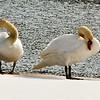 Mute Swans, Stoneycreek Reservoir, Clifton Park, NY 3-21-15