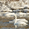Mute Swan, Cresent Power House, Cohoes, NY