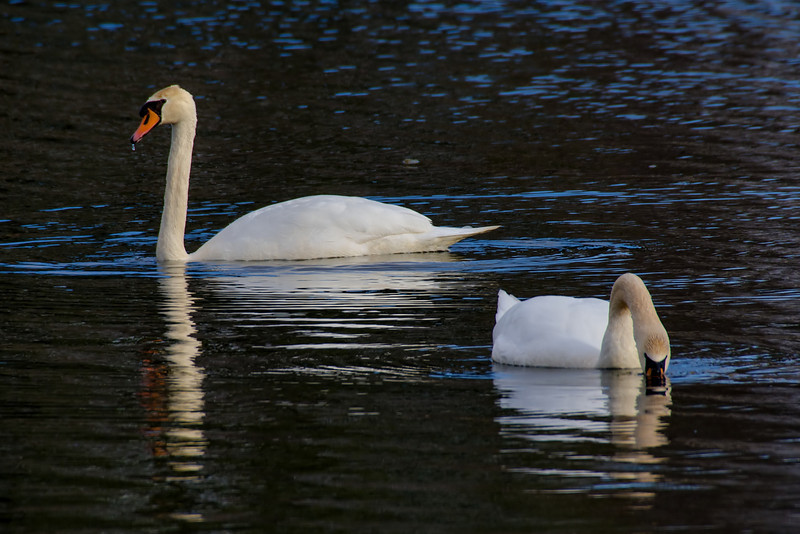 Mute Swans, Stoneycreek Reservoir, Clifton Park NY, 4-7-13