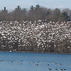 Snow geese Ft. Miller, NY 1-2012