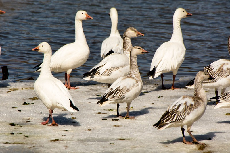 Snow geese Ft. Miller, NY 2015