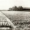 G0049 <br /> De boerderij van de fam. Zwetsloot, genaamd Wiltrijk, stond en staat een heel eind van de Hoofdstraat af en was te bereiken langs een smal laantje temidden van de bollenvelden. De boerderij diende als woning van de fam. Zwetsloot, die toen de woning onbewoonbaar werd het huis ernaast heeft betrokken. Naast het huis staat een bollenschuur.