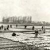G0055 <br /> Bollenland tussen de Wasbeekerlaan en de Zandsloot. Het huis links achter de bomen is het dubbelhuis op Hoofdstraat 79, met de namen 'Bloomfield' en 'Zomerzorg'. Later is dat één woning geworden, met de naam 'Twin's Home'. <br /> Iets meer naar rechts achter de bomen is de bollenschuur van H. Roozen. Het witte pand meer naar rechts is boerderij Knorrenburg.