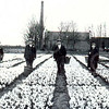 G0445 <br /> Het bollenland van Arie en Gerrit Rotteveel langs de Teijlingerlaan. V.l.n.r.: Gerard v.d. Ploeg, Jan v.d. Hulst, Toon van Dijk, Jan Kortekaas en Bert Elferink (van het Wespennest). De melkfabriek van Gerrits (op de achtergrond) is later omgebouwd tot stoomwasserij Hollandia van de fam. Van Niekerk (van de J.P. Gouverneurlaan). Rechts is een klein stukje te zien van de bollenschuur van de gebr. Bergman.