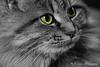 Cute Kitty with Selective Coloring