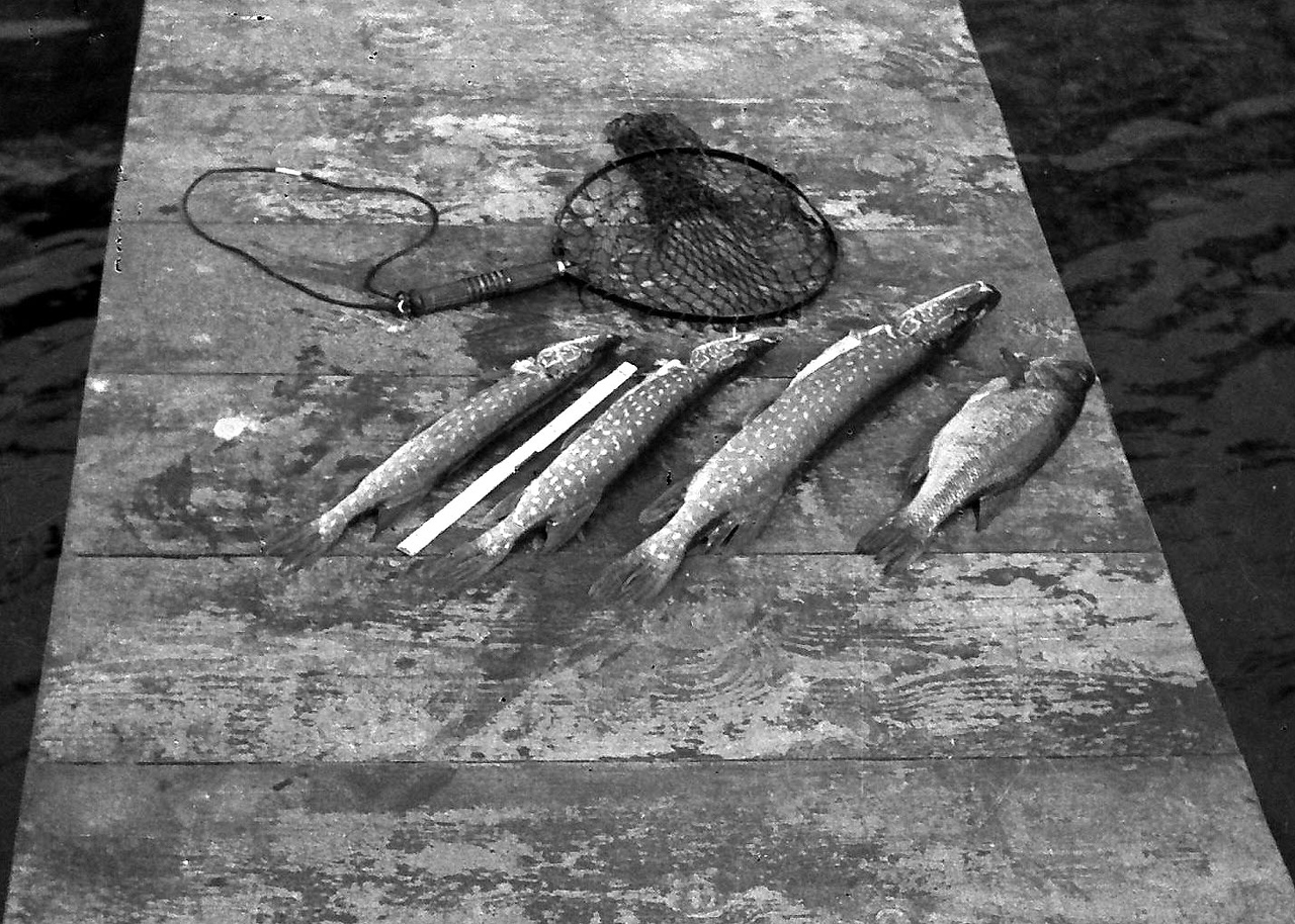 Catch of the day. Tea Lake, Oscoda County. Fishing/Camping trip. ca. 1946