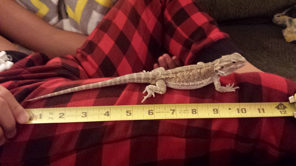 10.12.15 measuring smaug just shy of 11""
