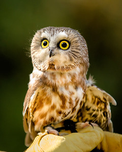 "Northern Saw Whet Owl  ""Lunar"""
