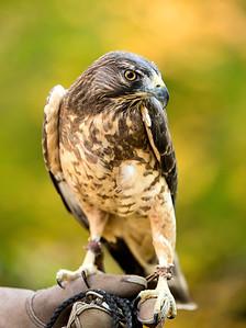Hybrid Hawk