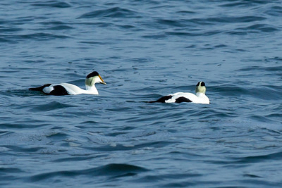 Common Eiders at Sachuest.