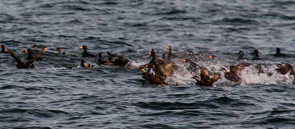 Frenzied flock of Black Scoters off the coast of Beavertail.