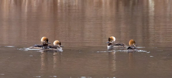 Hooded Mergansers and there is always one who can't get with the program...