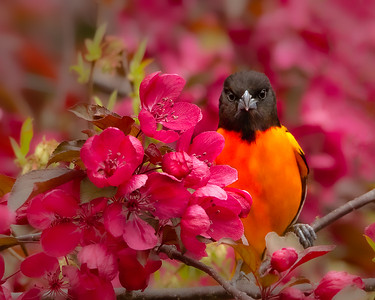 Baltimore Oriole playing Hide and Seek.