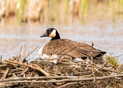 Mother Goose patiently awaiting her new arrivals.